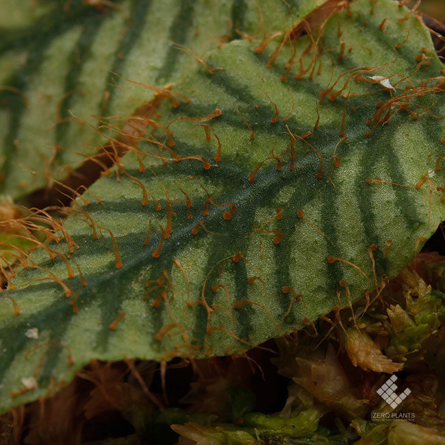 "Elaphoglossum sp. "" STRIPED "" [ エラフォグロッサム sp. "" ストライプ "" ] 【 PN190411-11 】"