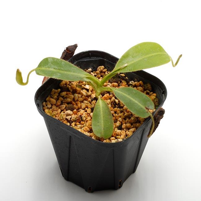 Nepenthes glandulifera [ ネペンテス・グランジュリフェラ ] 【 Borneo Exotics / BE-3766 】【 PN200205-78 】