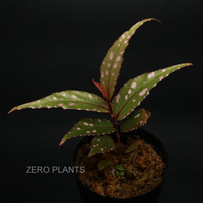 """Begonia sp """"Nanga pinoh """" [ ベゴニアsp. """"ナンガ・ピノ""""] 1ポット"""