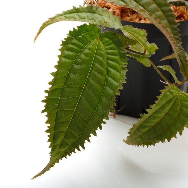 """Pilea sp. """" Ecuador """"  [ ピレア? sp. ] 【 PN210330-31 】"""