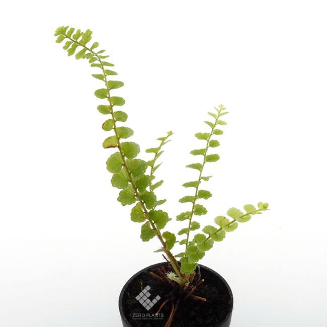 タマシダ・ダッフィー 1ポット 【 ビバリウム、パルダリウムに使いやすい植物 】