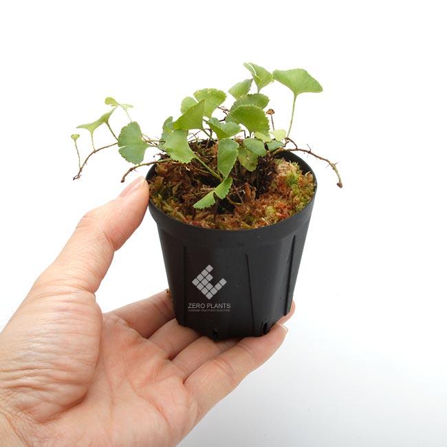 """Elaphoglossum peltatum """" Ecuador """" """" Type-C """" [ エラフォグロッサム・ペルタツム ] 【 PN190219-09 】"""