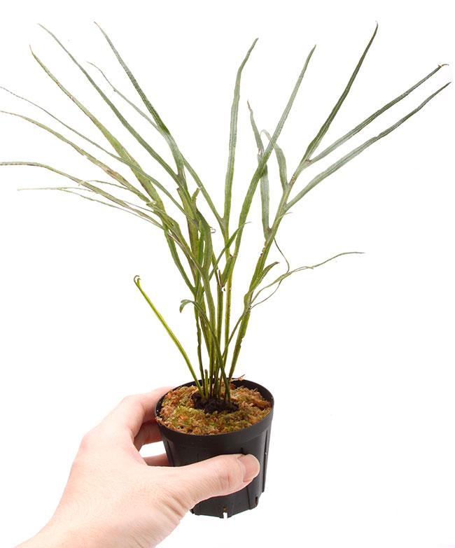 Dicranoglossum panamense  [ ディクラノグロッサム・パナマエンシス ] 【 PN200218-05 】
