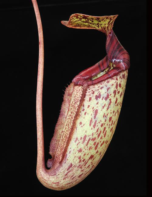 Nepenthes rajah x burbidgeae ( N. x ' alisputrana ' ) [ ネペンテス・ラジャ x バービッジアエ (N. アリサプトラナ ) ] 【 Borneo Exotics / BE-3931 】【 PN200205-11 】