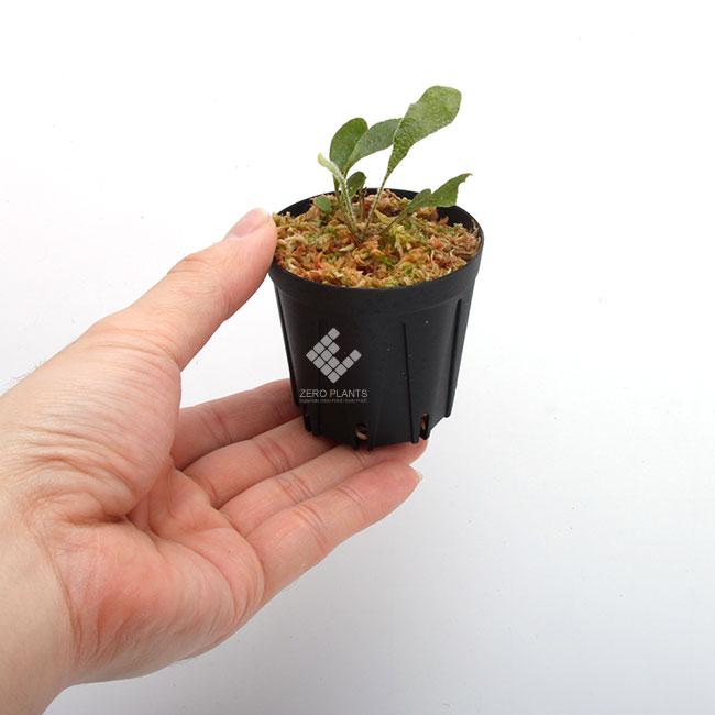 Elaphoglossum apodum aff. [ エラフォグロッサム・アポダム aff. ] 【 PN190411-15 】