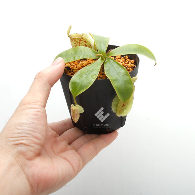 """Nepenthes ampullaria """" Tricolor spotted """" [ ネペンテス・アンプラリア ] 【 PN190831-05 】"""