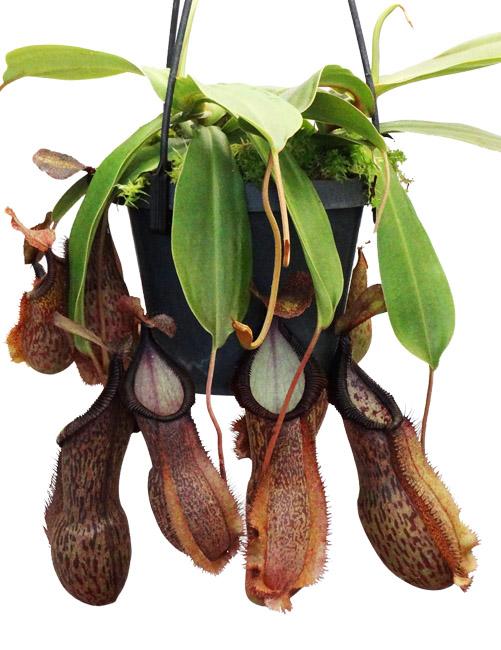 Nepenthes spathulata x hamata [ ネペンテス・スパスラタ×ハマタ ] 【 Borneo Exotics / BE-3793 】【 PN200205-17 】