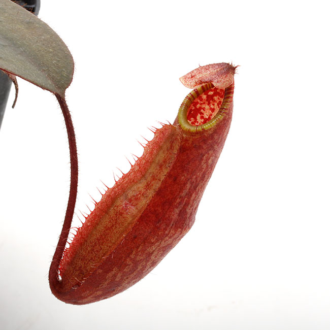 Nepenthes peltata [ ネペンテス・ペルタタ ] 【 Borneo Exotics / BE-3464 】【 PN200205-68 】