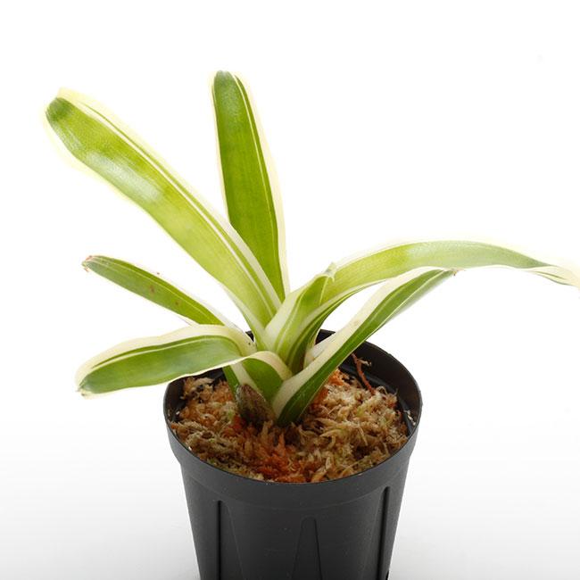 """Neoregelia """" Fire Ball variegata """" [ ネオレゲリア・ファイヤーボール・斑入 ] 1ポット 【 パルダリウム、ビバリウムに使いやすい植物 】"""