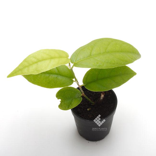 フィカス・ラディカンス 1ポット 【 ビバリウム、パルダリウムに使いやすい植物 】