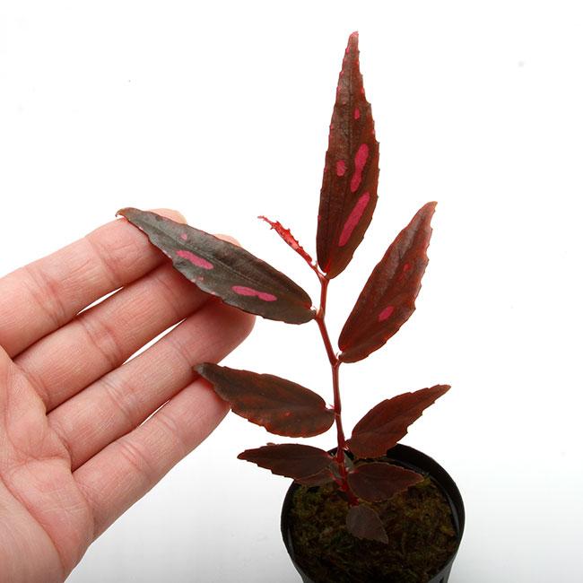"""Begonia sp. """" Julau """" [ ベゴニア sp. """" ジュラウ """" ] 1ポット 【 ベゴニアとしては特徴的な草姿、カラーが魅力的 】"""