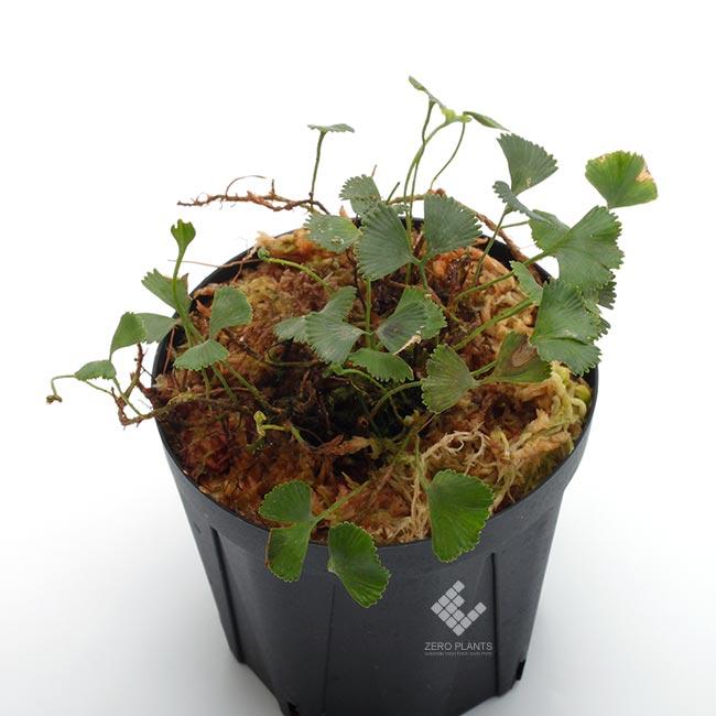 """Elaphoglossum peltatum """" Ecuador """" """" Type-D """" [ エラフォグロッサム・ペルタツム ] 【 PN190219-11 】"""