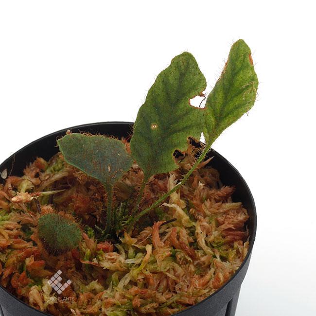 "Elaphoglossum sp. "" STRIPED / Light color "" [ エラフォグロッサム sp. "" ストライプ / ライトカラー "" ] 【 PN190411-16 】"