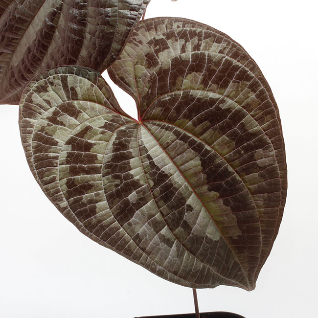 Dioscorea dodecaneura  [ ディオスコレア・ドデカネウラ ] 【 PN200218-08 】