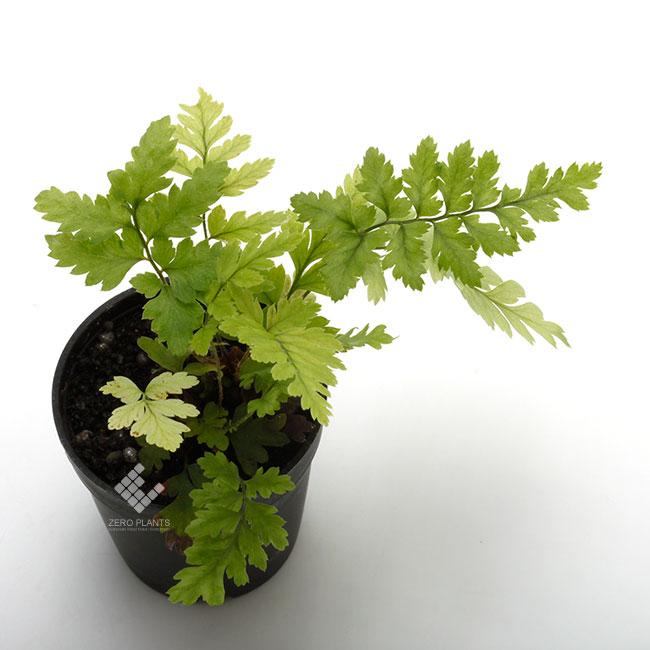 Polystichum tsus-simense [ ヒメカナワラビ ] 1ポット 【 パルダリウム、ビバリウムに使いやすい植物 】