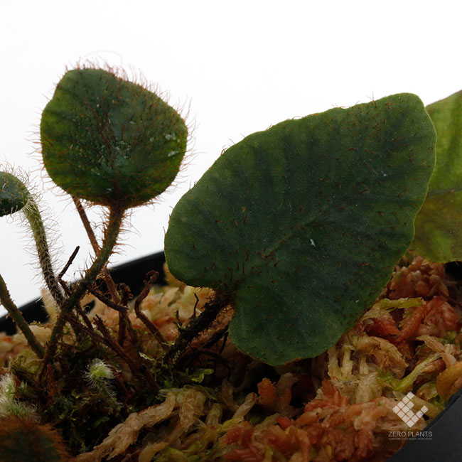 "Elaphoglossum sp. "" STRIPED / Light color "" [ エラフォグロッサム sp. "" ストライプ / ライトカラー "" ] 【 PN190411-17 】"