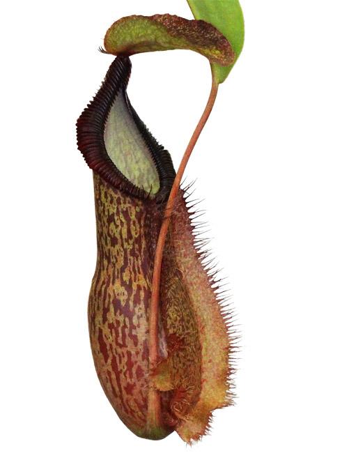 Nepenthes spathulata x hamata [ ネペンテス・スパスラタ×ハマタ ] 【 Borneo Exotics / BE-3793 】【 PN200205-19 】