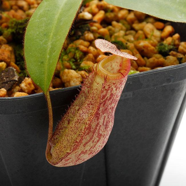 Nepenthes rajah x burbidgeae ( N. x ' alisputrana ' ) [ ネペンテス・ラジャ x バービッジアエ (N. アリサプトラナ ) ] 【 Borneo Exotics / BE-3865 】【 PN200205-02 】