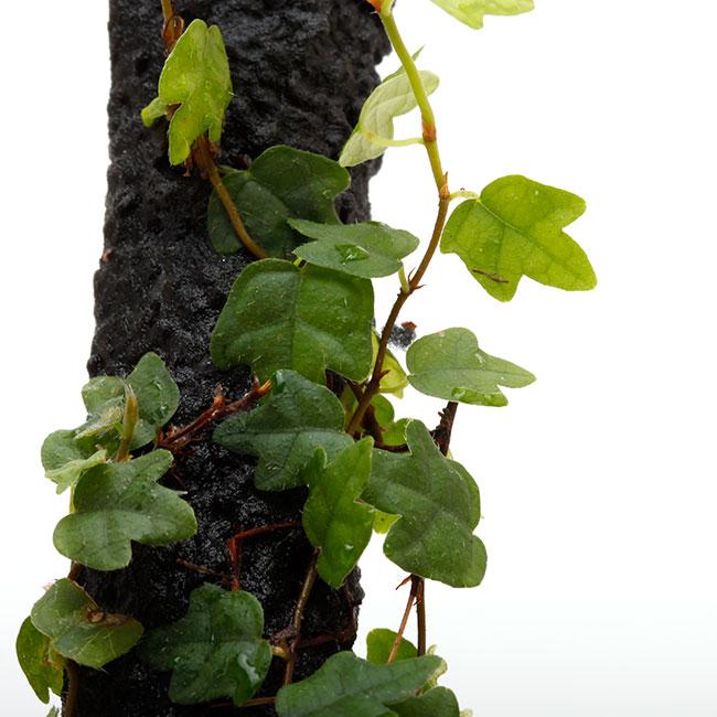 Ficus thunbergii [ ヒメイタビ・屋久島産 ] 1ポット 【 パルダリウム、ビバリウムに使いやすい植物 】