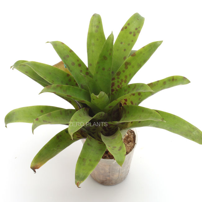 フリーセア・ラシナエ 1ポット 【 パルダリウム、ビバリウムに使いやすい植物 】