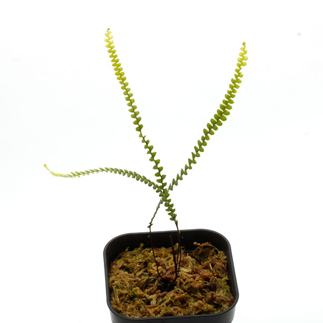 Stromatopteris moniliformis [ ストロマトプテリス・モニリフォルミス ] 【 PN200830-08 】【 一属一種でかつニューカレドニア固有種となる男前シダ 】