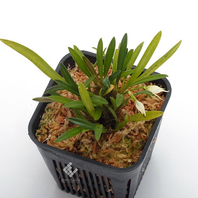 Diodonopsis pygmaea [ ディオドノプシス・ピグマエア ] 【 PN1190411-05 】