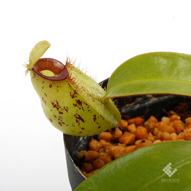 """Nepenthes ampullaria """" Spotted with Red Lip """"  [ ネペンテス・アンプラリア ] 【 PN190503-02 】"""