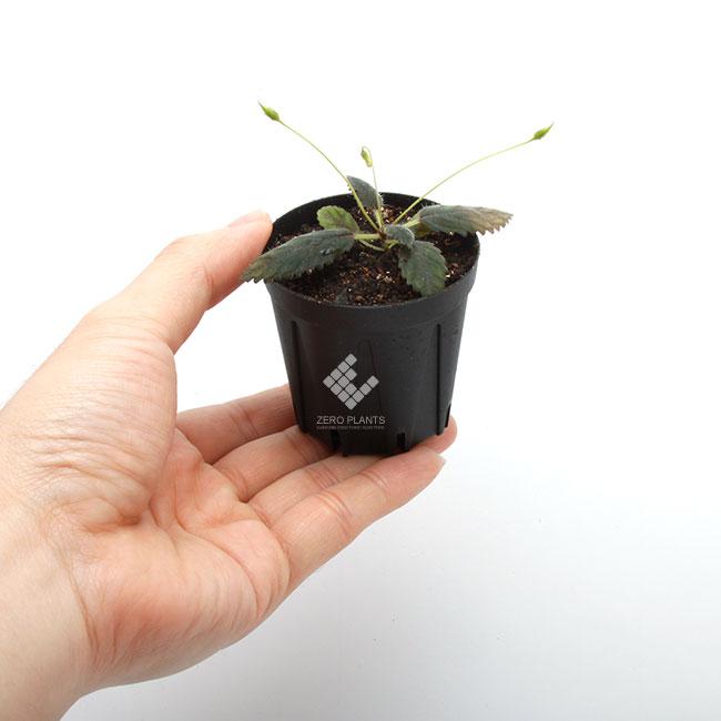 Sinningia muscicola [ シンニンギア・ムスキコラ ] 1ポット 【 ビバリウム、パルダリウムに使いやすい植物 】