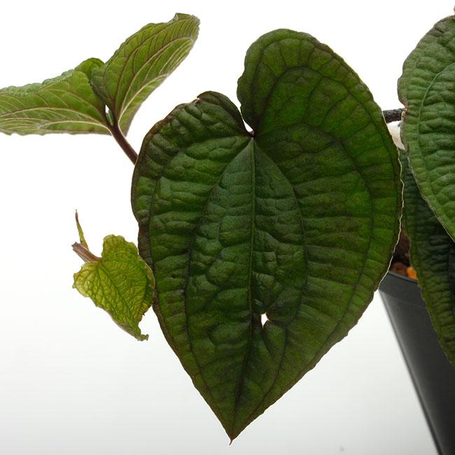 Anthurium clidemioides [ アンスリウム・クリデミオイデス ] 【 PN200218-12 】
