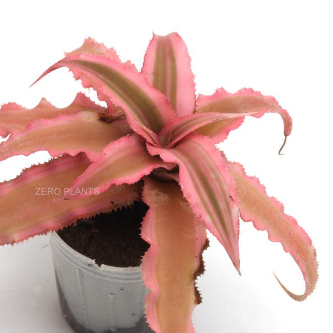 """クリプタンサス """" ピンクスターライト """" 1ポット 【 パルダリウム、ビバリウムに使いやすい植物 】"""