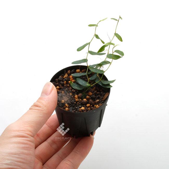 """Ficus sp. """" Mt. Besar, Sumatra """" [ フィカス sp.  ] 1ポット 【 パルダリウム、ビバリウムに使いやすい植物 】"""