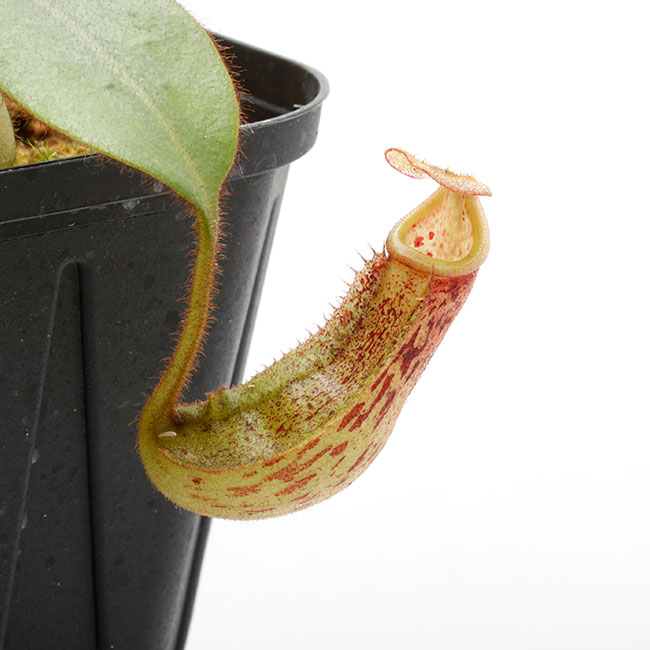Nepenthes burbidgeae x veitchii [ ネペンテス・バービッジアエ×ビーチ ] 【 Borneo Exotics / BE-3723 】 【 PN200205-84 】