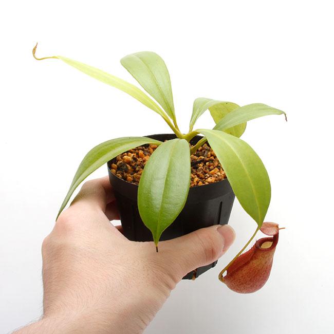 """Nepenthes bicalcarata """" Red × Orange """"  [ ネペンテス・ビカルカラタ """"レッド×オレンジ """" ] 【 PN210501-01 】"""