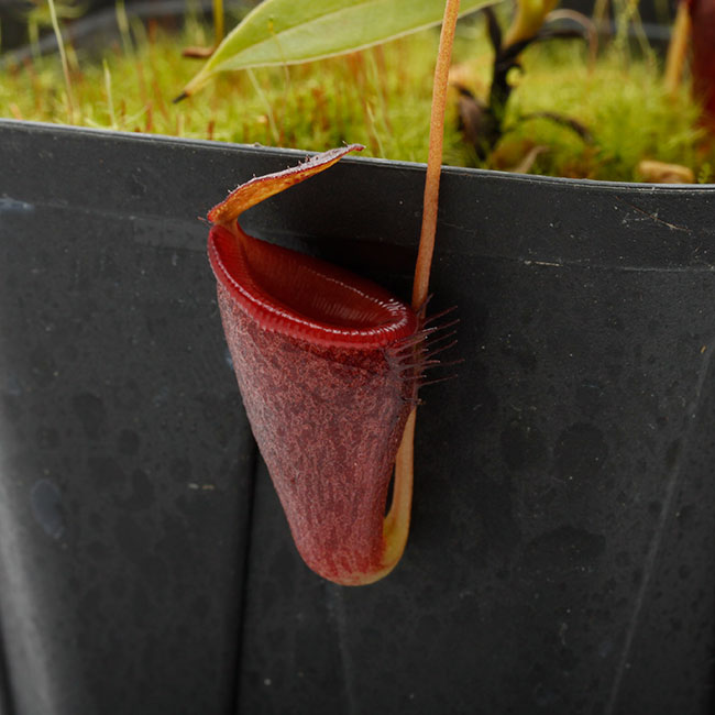 Nepenthes jamban [ ネペンテス・ジャンバン ] 【 Borneo Exotics / BE-3875 】【 PN200205-45 】