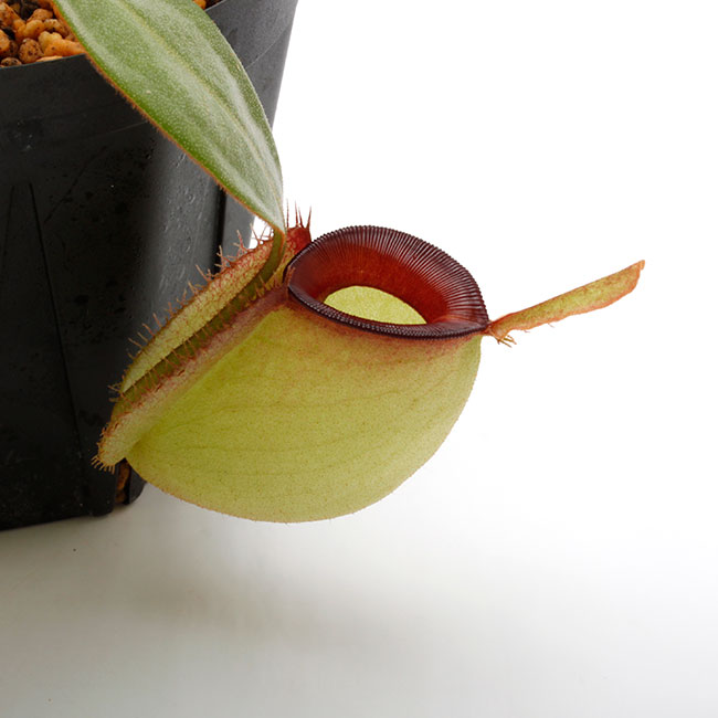 "Nepenthes ampullaria "" Red Lip ""  [ ネペンテス・アンプラリア ] 【 PN210501-02 】"