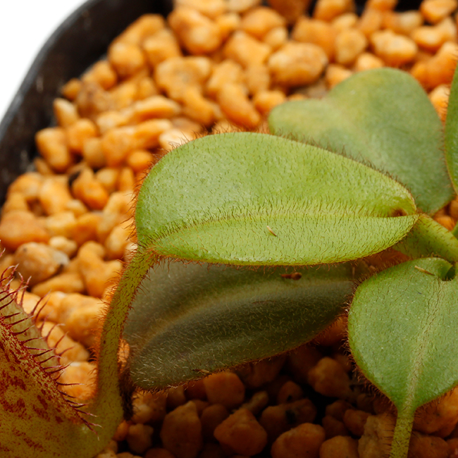 Nepenthes eymae [ ネペンテス・エイマエ ] 【 PN211001-14 】