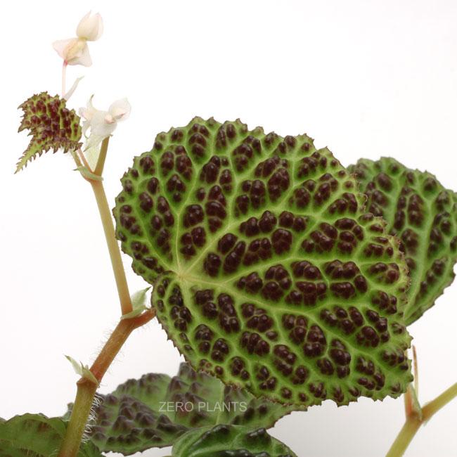 Begonia dracopelta [ ベゴニア・ドラコペルタ ] 1ポット 【 葉の凸凹テクスチャーが衝撃的な原種ベゴニア 】