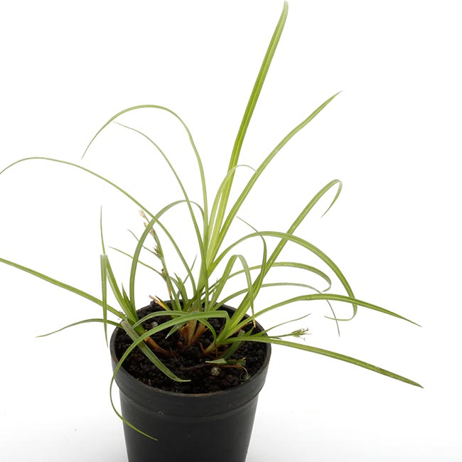 Carex candolleana [ カレックス・カンドレアナ / メアオスゲ ] 1ポット 【 パルダリウム、ビバリウムに使いやすい植物 】