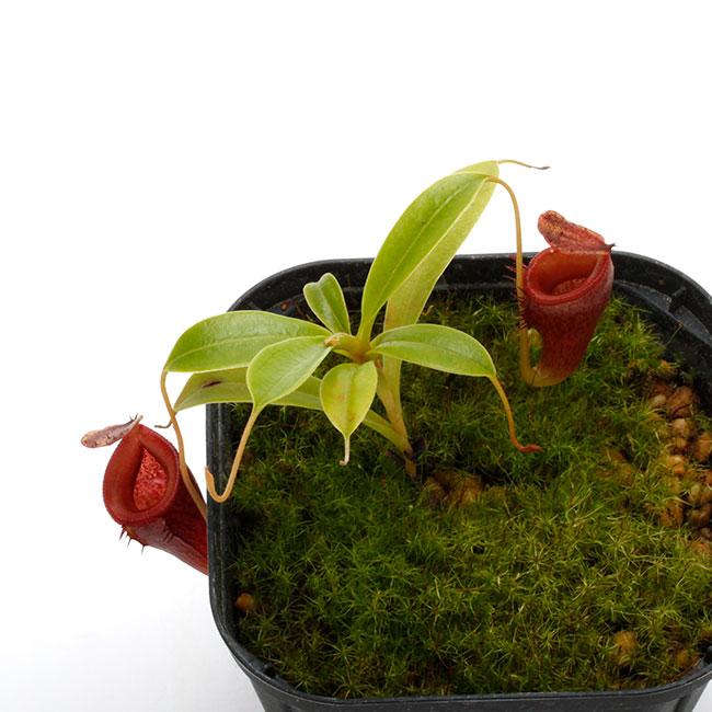 Nepenthes jamban [ ネペンテス・ジャンバン ] 【 Borneo Exotics / BE-3875 】【 PN200205-46 】