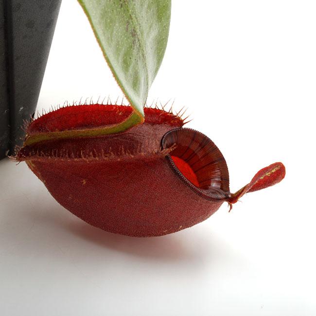 """Nepenthes ampullaria """" BLACK """" [ ネペンテス・アンプラリア """"ブラック"""" ] 【 PN210501-04 】"""