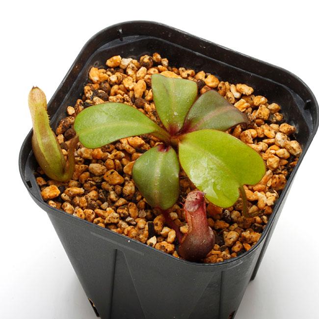 Nepenthes clipeata [ ネペンテス・クリペアタ ] 【 PN210622-04 】