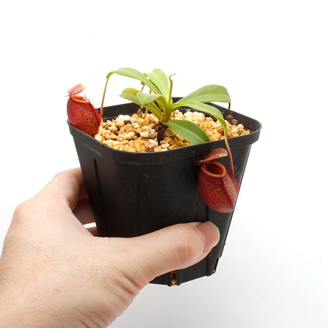 Nepenthes undulatifolia [ ネペンテス・ウンデュラティフォリア ] 【 PN211001-15 】