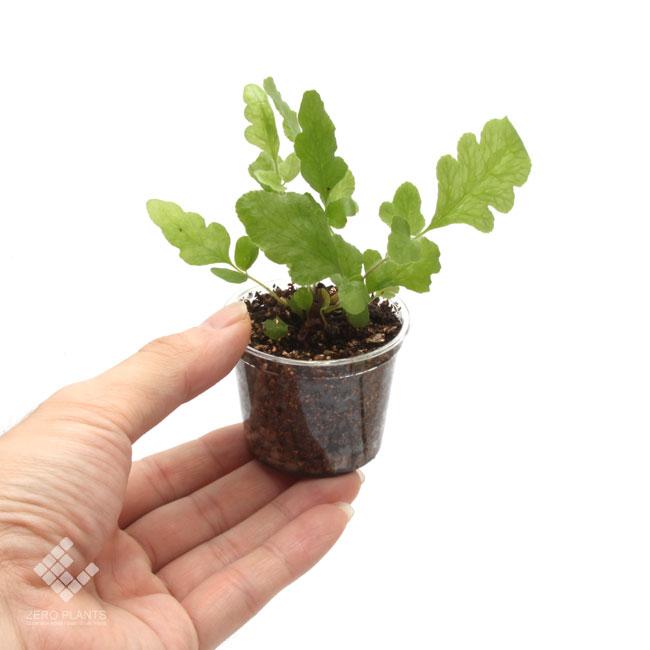 テクタリア・ゼイラニカ 1ポット 【 ビバリウム、パルダリウムに使いやすい植物 】