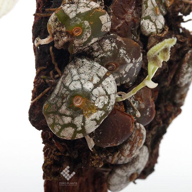 Bulbophyllum polliculosum [ バルボフィラム・ポリクロサム ] 【 PN190517-04 】
