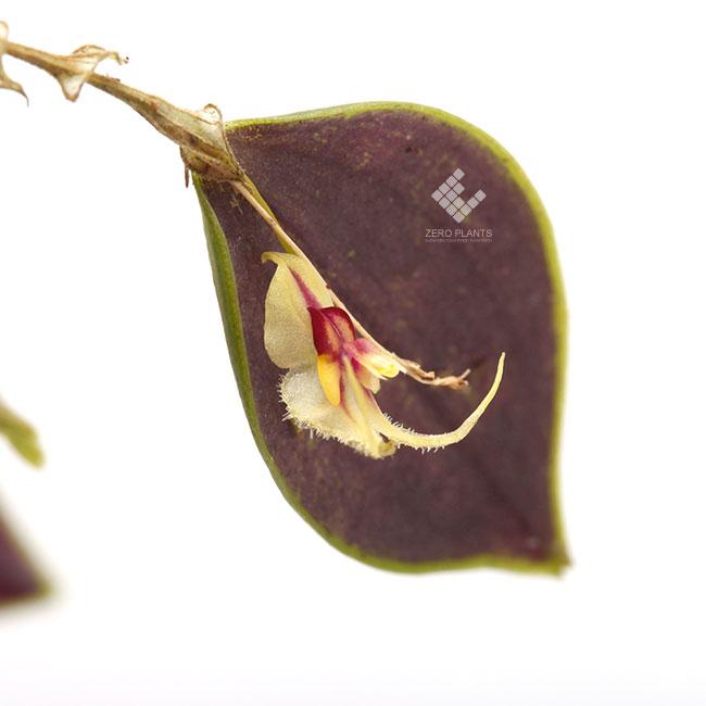 Lepanthes caloura  [ レパンテス・カロウラ ] 【 PN190831-14 】