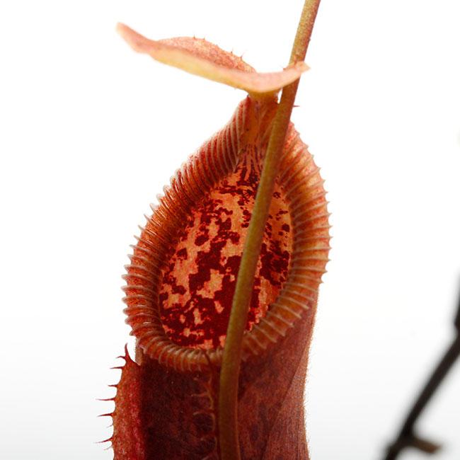 Nepenthes singalana x hamata [ ネペンテス・シンガラナ×ハマタ ] 【 Borneo Exotics / BE-3900 】【 PN200205-133 】