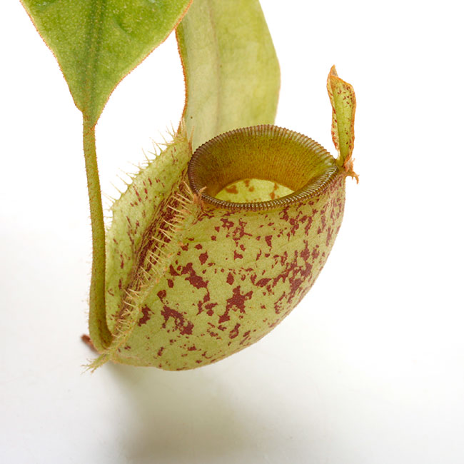 """Nepenthes ampullaria """" Tricolor spotted """" [ ネペンテス・アンプラリア ] 【 PN210501-05 】"""
