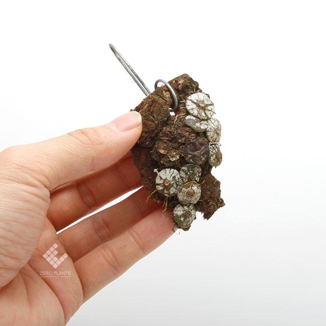 Bulbophyllum polliculosum [ バルボフィラム・ポリクロサム ] 【 PN190517-05 】