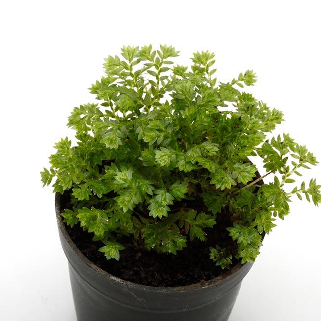 Selaginella apoda [ セラジネラ・アポダ / クッションモス ] 1ポット 【 パルダリウム、ビバリウムに使いやすい植物 】