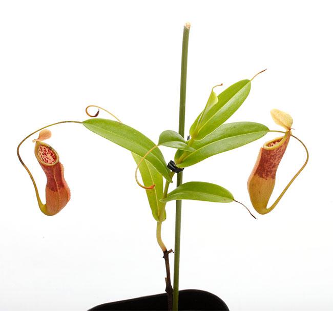 Nepenthes singalana x hamata [ ネペンテス・シンガラナ×ハマタ ] 【 Borneo Exotics / BE-3900 】【 PN200205-134 】